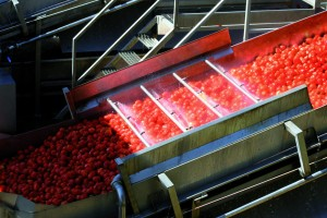 tomatoes in production line